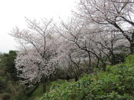 桜満開 156