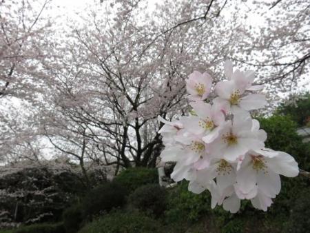 桜満開 157