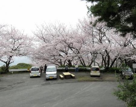 桜満開 163