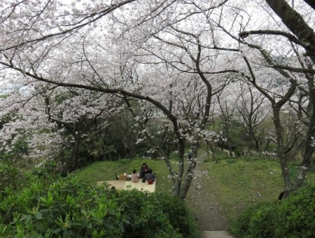 桜満開 159