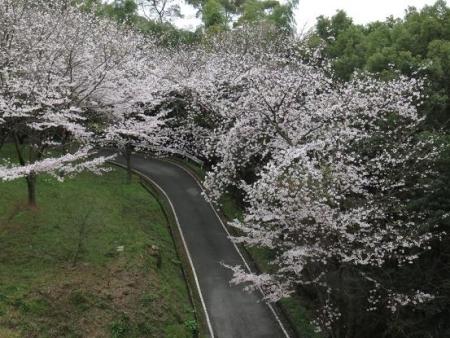 桜満開 153
