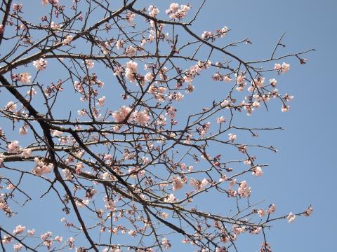 いわきの桜