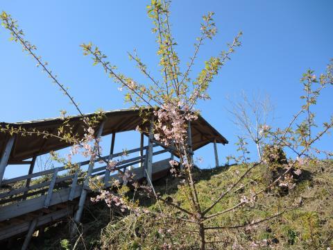 いわきの桜 1
