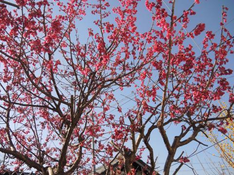 いわきの桜 4