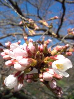 3月22日の桜2