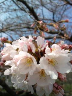 3月23日の桜