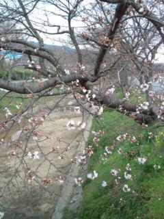 3月24日の桜