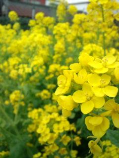 3月25日の菜の花1
