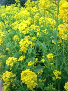 3月25日の菜の花2