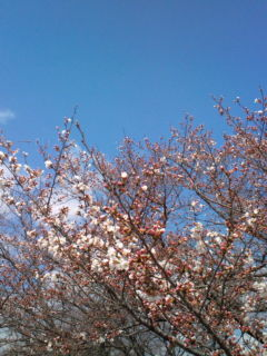 3月26日の桜1