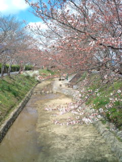 3月26日の桜2