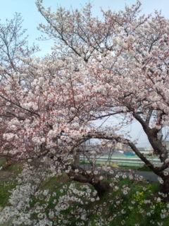 3月30日の桜3