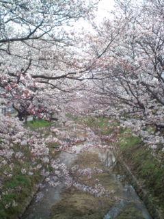 3月31日の桜3