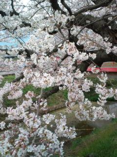 3月31日の桜5