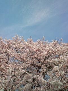 3月31日の桜1
