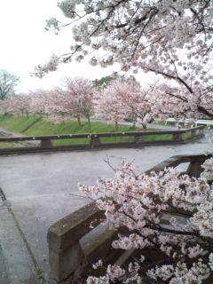 4月1日の桜1