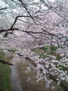 4月1日の桜3