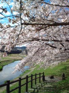 4月2日の桜5