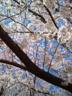 4月2日の桜2