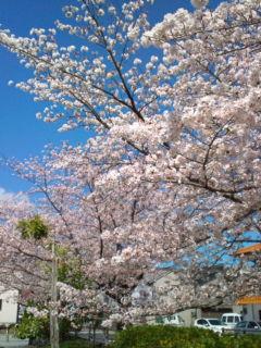 4月2日の桜4公園