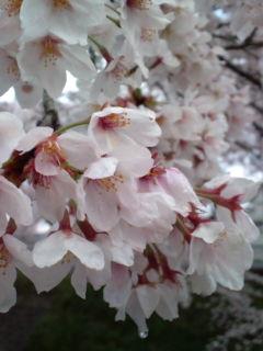 4月4日の桜1