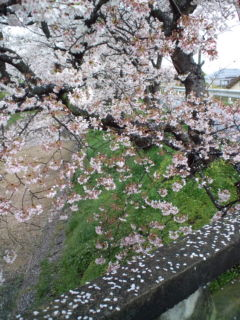 4月4日の桜3