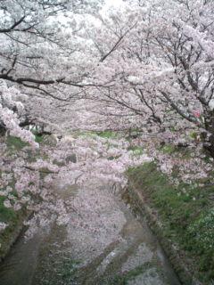 4月5日の桜3