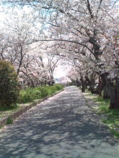 4月6日の桜3