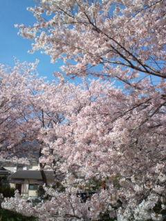 4月6日の桜4