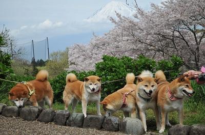 富士山と桜と柴犬と