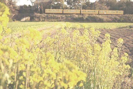 菜の花と黄色い電車