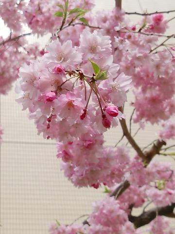 160410-flower
