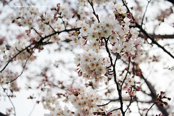 チビプードルモコの毎日☆桜☆