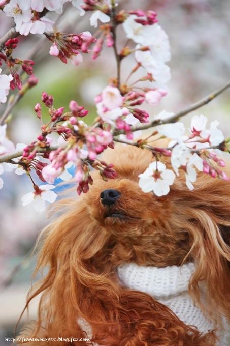 チビプードルモコの毎日☆みるく桜