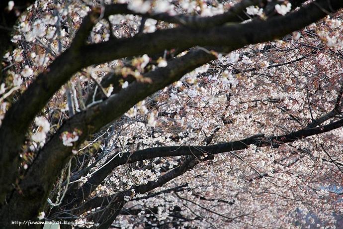 チビプードルモコの毎日☆桜D