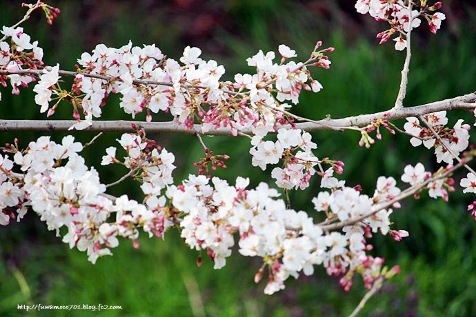 チビプードルモコの毎日☆桜C