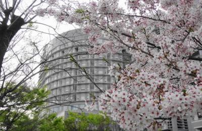 桜満開の公園より病院を望む