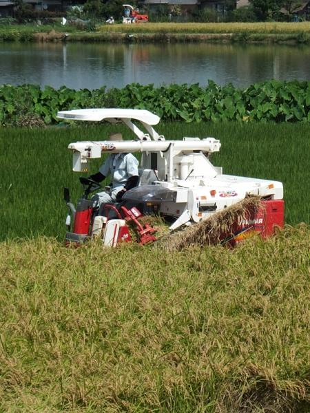 晩生の稲刈り02