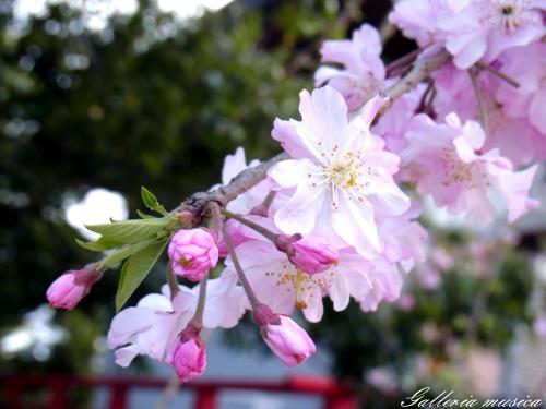 日本の春の美7