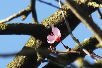 紅スモモ開花