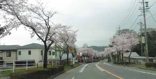 車窓からの桜