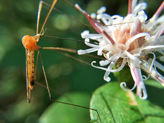 コウヤボウキの蜜を吸うヒメクチナガガガンボ。