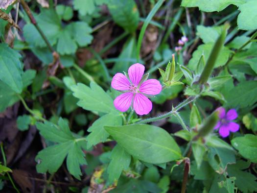 ピンク色のゲンノショウコの花。