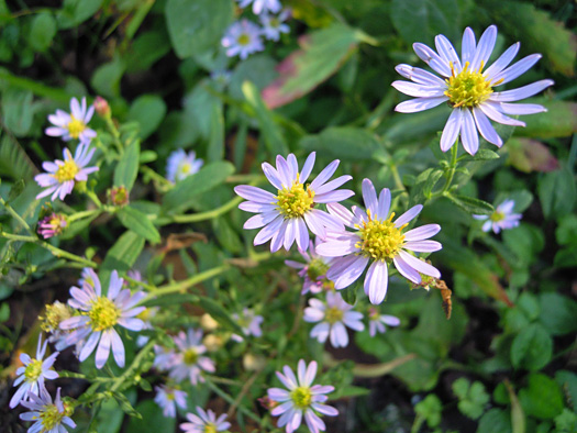 ノコンギクの花。