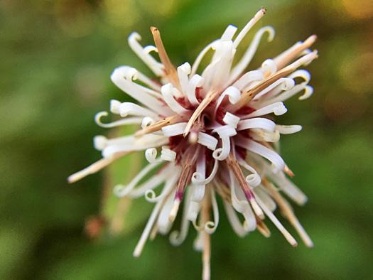 コウヤボウキの花。