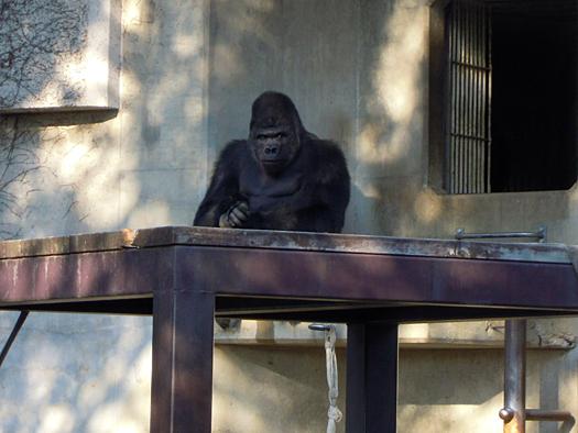東山動物園のイケメン・ゴリラ「シャバーニ」。