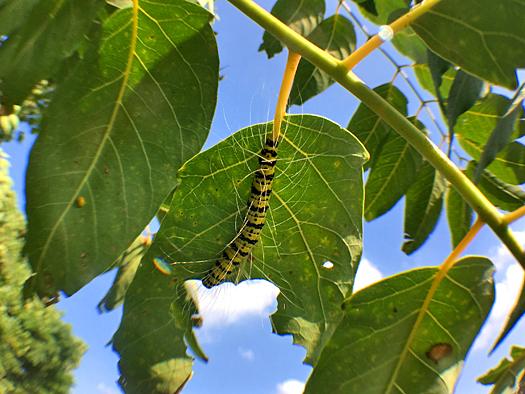 シンジュキノカワガの幼虫の写真1。