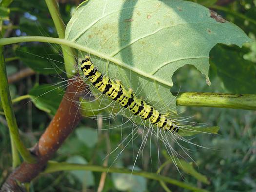 シンジュキノカワガの幼虫の写真2。