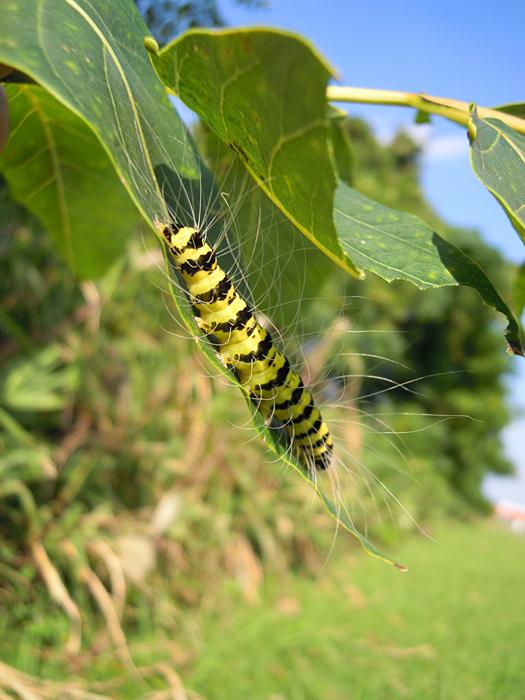 シンジュキノカワガの幼虫の写真3。
