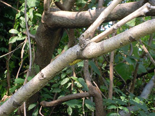 ニワウルシの枝にいるシンジュキノカワガの幼虫。